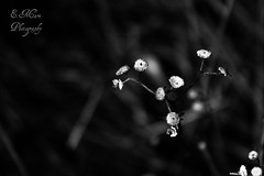 (Doodles N' Dabbles) Tags: flowers blackandwhite plants nature grass