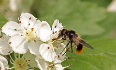 Cheilosia illustrata (saracenovero) Tags: flies syrphidae diptera 2013 mazeikiai cheilosiaillustrata fliesoflithuania