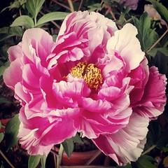 ได้เจอดอกโบตั๋นของจริงก็วันนี้เอง สวยดี แต่มาไม่ตรงเวลาเท่าไหร่ เพราะยังบานไม่เยอะ น่าจะบานสักอาทิตย์ 2อาทิตย์หน้านี้ คงสวยหน้าดู  #flowerslovers #flowerslovers #flower #flowerstyles_gf #china #xian #Peonies #Luoyang