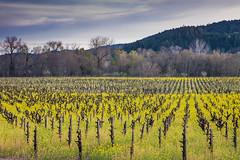 Dry Creek Mustard #6 (Tom Moyer Photography) Tags: california vineyard vines mustard sonomacounty winecountry drycreekvalley
