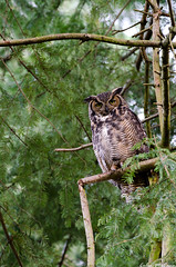 Great Horned Owl Mother (C McCann) Tags: family canada bird home birds forest bc nest britishcolumbia great victoria vancouverisland raptor owl prey westcoast raptors owls nesting saanich oakbay horned owlet owlets
