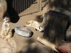 "MEERKAT 180_181 (Dancing with Ghosts Graphics) Tags: copyright cute animal mammal meerkat pups small gang mob 180 clan mongoose angola sentry suricate burrows suricatta desert"" diurnal 2013 fawncolored herpestid iteroparous ""kalahari dwgg ""namib debbrawalker feliform dancingwghosts ""suricata suricatta"" ""botswana"" oraging siricata"" majoriae"" iona"""