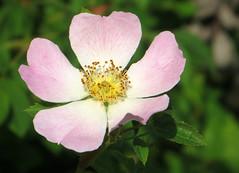 IMG_6367 (hemingwayfoto) Tags: rose flora pflanze gelb wildrose blume blte panther strauch busch botanik zart blhen rosacanina heckenrose romantisch duftend einheimisch rosengewchs hufig