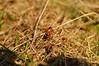 7-spot Ladybirds Mating