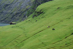 Steep fields (Jaedde & Sis) Tags: føroyar faroeislands horses saksun green herowinner 15challengeswinner challengefactorywinner thechallengefactory