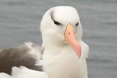 DSC_9373 Wenkbrauwalbatros : Albatros a sourcils noirs : Diomedea melanophris : Schwarzbrauen-Albatros : Black-browed Albatross