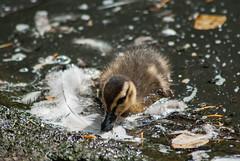 20150711_72 - Entenkken (grasso.gino) Tags: cute bird nature animals zoo tiere duck nikon natur duckling ente dortmund fledgling vogel niedlich kken d3000