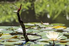 2015 Dragonfly #2 (Yorkey&Rin) Tags: summer japan tokyo waterlily dragonfly july olympus 東京 夏 rin machida 睡蓮 2015 薬師池公園 em5 7月 yakushiikekouen 町田市 pc236781 olympusm75300mmf4867ii ショウジョウトンボ