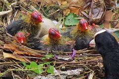 'Listen up guys, you are soon to get a brother or sister' (Elisa1880) Tags: bird netherlands nest nederland dordrecht chicks babys coot kuikens vogel meerkoet atra fulica