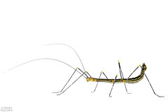 Aposematic stick insect (Oreophoetes peruana) (ggallice) Tags: stickinsect phasmatodea oreophoetesperuana female aposematic bigalriverbiologicalreserve riobigal orellana ecuador amazon rainforest jungle southamerica insect