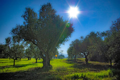 Olive Dream Land (GEORGE TSIMTSIMIS) Tags: trees outdoors country olive sky sun blue green land grass logs starburst depthoffield