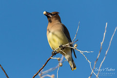 March 3, 2017 - A Cedar Waxwing enjoys a snack. (Tony's Takes)