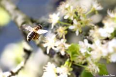 Abeille (Bruno. Thomé) Tags: abeille pentaxk1 smcdfa100mmf28macrowr macro nature france indreetloire chinon