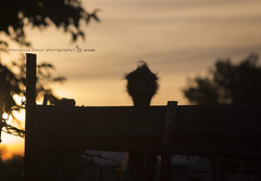(Ronica23) Tags: hairy cute bird animals silhouette fence furry eyelashes ostrich goldenhour