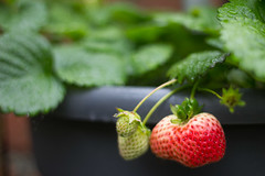 Strawberries. (L. McG.-E.) Tags: fruit garden spring gardening strawberries growyourownfood