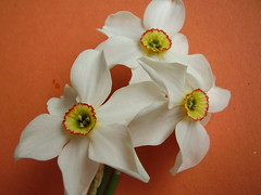 May2013 439 Narcissus. Poeticus group I think (monica_meeneghan) Tags: flowers spring blinkagain frogpondflorals