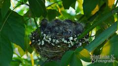 Neues Leben (MathiasK. Fotografie) Tags: jung fotografie nest sony 1855mm blatt mathias bltter vogel eier kken karner duundich mathiask wwwmathiaskarnerat wwwduundichphoto