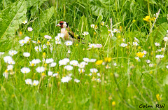 Goldfinch - Peek a boo (ColmRWPhotography) Tags: nature birds wow garden newcastle flying inflight nikon shot action wildlife air goldfinch under trent stoke lyme on d3100 colmrw