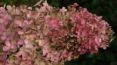 Hydrengea (ElsjeD - taking a little break) Tags: pink flowers flower hydrangea bloemen roze bloem hortensia
