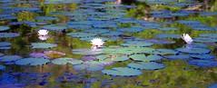 Swamp Lilies (jim324w) Tags: flower reflection nature mobile landscape nikon lily outdoor alabama delta swamp lillies wetland d3100