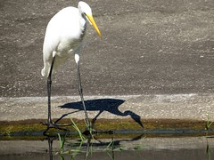 """ What Is Going On Here"" ? (Gary Helm) Tags: shadow bird nature water birds canon out outside backyard florida wildlife freaked greatwhiteegret centralflorida lakewales lookingoutmybackdoor lakepierce"