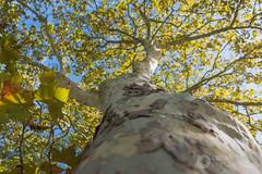 Un platane le long du canal (raphael.labourel) Tags: france tree nature earth monde arbre canaldumidi platane hautegaronne