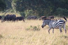 IMG_4514.jpg (rbariletto) Tags: africa animal animals zebra waterbuffalo zebras masaimara