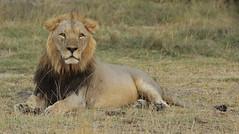Male Lion Portrait (TenPinPhil) Tags: africa cat canon wildlife lion safari bigcat 2013 philipharris flickrbigcats 5dmarkiii tenpinphil