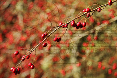 clusters of coral beads (1crzqbn) Tags: autumn red sunlight color texture nature reflections berries shadows bokeh 7d pdx washingtonpark magicunicornmasterpiece 1crzqbn vision:text=0533 vision:food=0542 vision:flower=0532 vision:plant=0674 clustersofcoralbeads