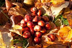 Churchyard conkers (vicmatt58) Tags: conkers bakewell allsaintschurch