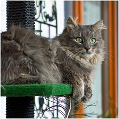 The one who braves the weather (FocusPocus Photography) Tags: cat feline chat kitty windy gato katze kater fynn longhaired kratzbaum windig scratchpost langhaarkatze fynnegan