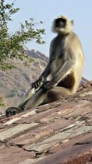 Wise Old Monkey at Amber Fort, Jaipur (h0n3yb33z) Tags: india monkey wise jaipur amberfort amerfort chantelpederson