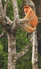 Male Proboscis Monkey (Nasalis larvatus) in tree 3, Labuk Bay, Sabah, Malaysia (Damon Tighe) Tags: male animal monkey bay asia southeastasia wildlife south east malaysia borneo primate sabah animalia mammalia proboscis primates proboscismonkey chordata nasique labuk cercopithecidae nasalislarvatus taxonomy:kingdom=animalia taxonomy:class=mammalia taxonomy:phylum=chordata nasalis larvatus mononarigudo longnosedmonkey  taxonomy:order=primates taxonomy:family=cercopithecidae taxonomy:binomial=nasalislarvatus taxonomy:species=larvatus taxonomy:genus=nasalis taxonomy:common=proboscismonkey taxonomy:common=longnosedmonkey taxonomy:common=nasique taxonomy:common=mononarigudo