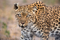 Eye contact (Thomas Retterath) Tags: wildlife ngc npc leopard zimbabwe hwange pantherapardus abigfave fotocompetition fotocompetitionbronze hwangenp blinkagain bestofblinkwinners photographyforrecreationeliteclub blinksuperstars