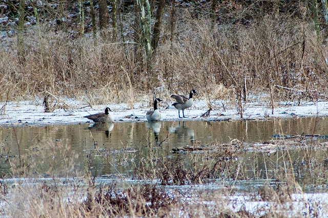 Griffy Lake - Canada Geese - December 30, 2013