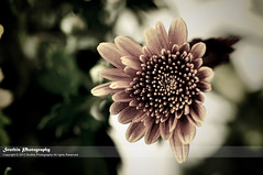 Happy Week ahead !! (Sruthis Photography) Tags: plant flower ahead sepia garden happy nikon mum week tone chrysanthamum d5000