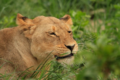 _MG_0092.jpg (yoospics) Tags: wildlife lion zimbabwe hwange eatinggrass upsettummy littlemakalolo