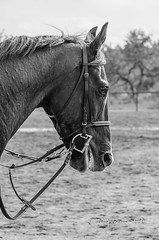 """Bucfalo"" (Joaquim F. P.) Tags: horse animal caballo major competition course competicion psi festa seleccin sant nacional antoni turf thoroughbred tarragona carreras carrera santantoni hpica tradicional raza vilaseca equino hipdromo mamifero hipica festivo elemento cs inters hipic csdesantantoni parcdelatorredendola purasangreingls"