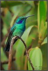 Green-Violetear-O7T9023Forums (DonHamiltonPhotos.com) Tags: costa birds america photography hummingbird hamilton central violet rica ear tropical don hummingbirds tours workshops colibri photographjycom httpdonhamiltonphotoscomblog
