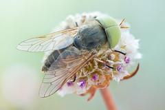 Atylotus ♂ (johnhallmen) Tags: macro insect naturallight horsefly diptera tabanidae canonmpe65 canon5dmkii atylotus zerenestacker