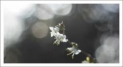 Blanc floral. ( allmavnce ) Tags: flowers winter macro fleurs canon 50mm bokeh couleurs hiver douceur 2014 canon450d