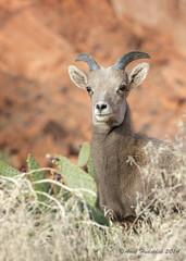 Surprise Surprise (Amy Hudechek Photography) Tags: winter animal kid desert wildlife nevada desertbighornsheep bighornsheep valleyoffirestatepark happyphotographer amyhudechek