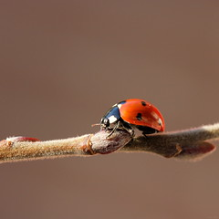 Ladybug in February (@noutyboy (Instagram)) Tags: life winter holland macro nature netherlands animal closeup digital bug insect eos is focus dof wildlife nederland thenetherlands natuur 100mm ladybug l 28 february dier f28 nieuwegein 550 2014 lieveheersbeestje nout 550d ketelaar canon100mm28lismacro eos550d noutyboy