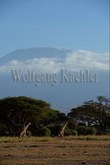 10070796 (wolfgangkaehler) Tags: africa landscape scenery kenya african wildlife scenic mountkilimanjaro giraffe amboseli kenyan eastafrica eastafrican giraffacamelopardalistippelskirchi masaigiraffe amboselinationalpark amboselikenya amboselinatlparkkenya