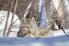 Sault Celebrity (Bryan O'Toole) Tags: ontario canada cat nikon wildlife wildcat soo lynx saultstemarie northernontario canadianlynx nikonafs300mmf28 nikond7000