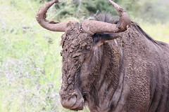 Best of Kruger 2014 muddy wildebeast (Abspires40) Tags: krugerpark knp krugernationalpark southafrica wildlife animals scenery nature wildebeest muddy