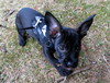 Loke 1 (Flemming-Denmark) Tags: puppy french denmark bulldog danmark plantage loke daschound gravhund bøgsted