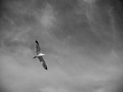 Parking Lot Gull (tim.perdue) Tags: columbus ohio sea sky bw white black bird monochrome clouds shopping wings gull parking flight lot center graceland