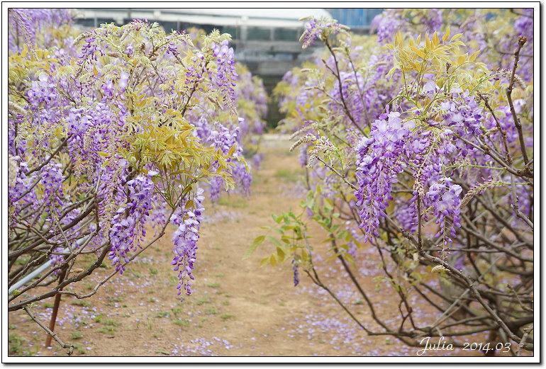 紫藤、老梅 (30)