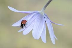 Ladybug (marcomes) Tags: flower closeup nikon natura ladybug fiore insetti tamron90mm coccinella d7100